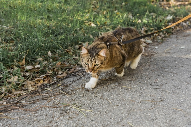How To Get Your Cat To Walk On A Leash