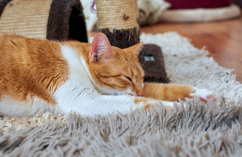 How to Remove Fleas from Carpet